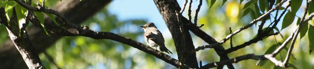 olive sided flycatcher sitting in tree