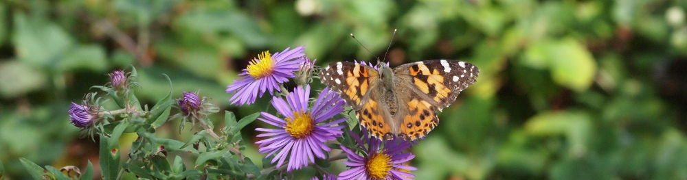 painted lady on new england aster
