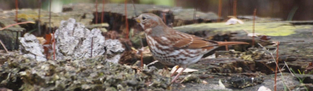 fox sparrow on stump