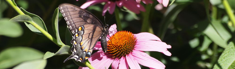 black swallowtail on purple coneflower