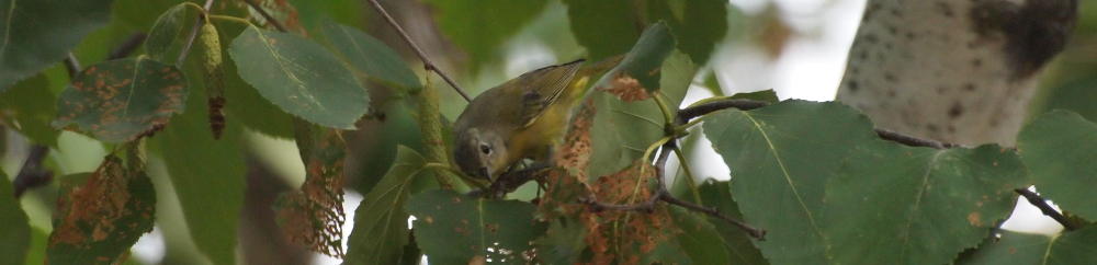 nashville warbler sitting in tree among leaves