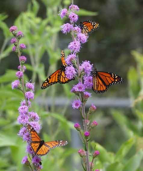 monarchs on blazing stars